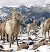 00_JoeWhittle_BigHornSheep_large